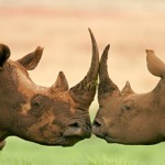 Killing of rhinos in South Africa