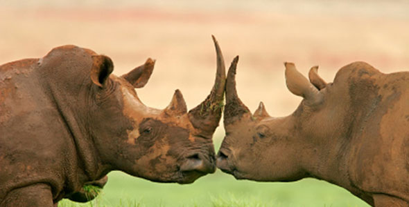 SANParks to sell limited rhino