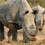 Fight against rhino poaching