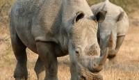 White Rhinos - South Africa