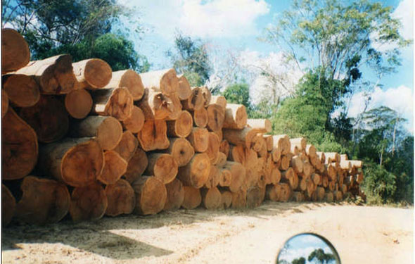 Illegal logging alongside proposed road