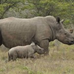 Rhino poaching on the increase