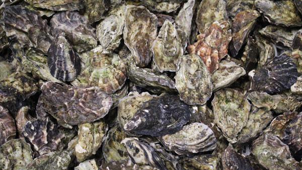 Oyster Restoration