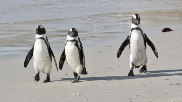 Plan for African Penguin